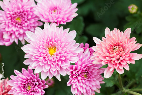 Carta da parati Beautiful Chrysanthemum Flowers, Closeup Chrysanthemum for background