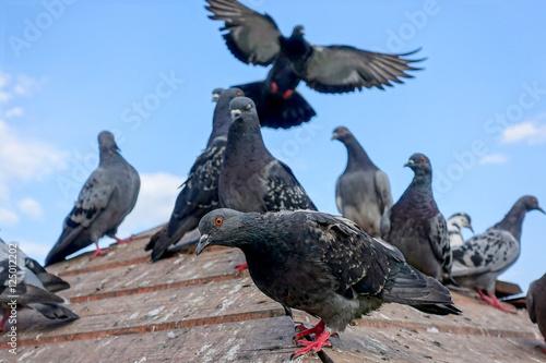 Pigeons Fotobehang