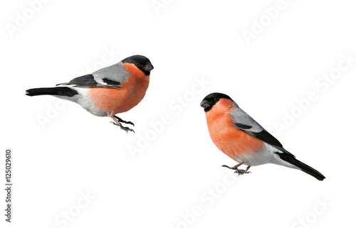 Vászonkép a pair of beautiful winter birds bullfinches on a white isolated background