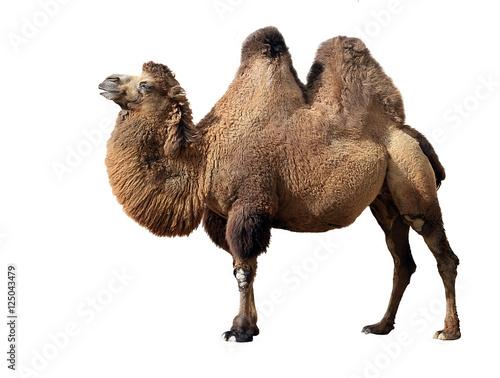 Bactrian camel Fototapet