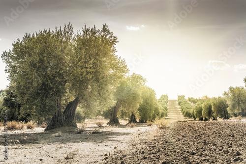 Olive trees at sunset Fototapeta