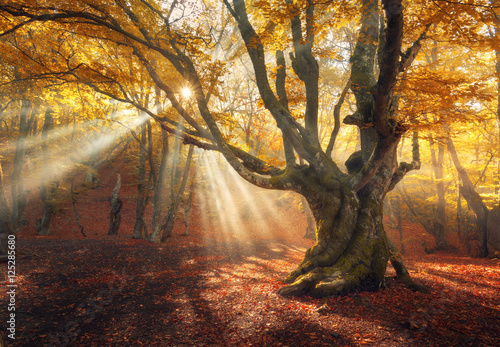 Autumn forest in fog with sun rays. Magical old tree at sunrise. Colorful landscape with foggy forest, yellow sunlight, red foliage at sunrise. Fairy forest in autumn. Fall woods. Enchanted tree