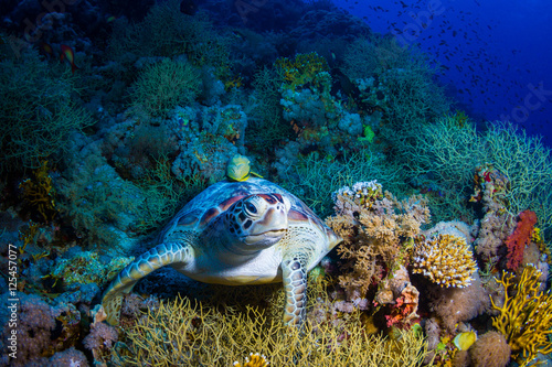 Fototapeta Żółw morski na rafie koralowej do pokoju