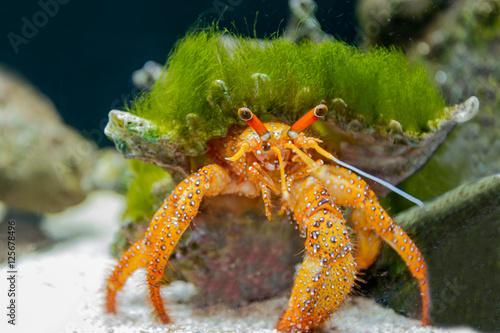 Hermit crab in the aquarium. Fototapeta