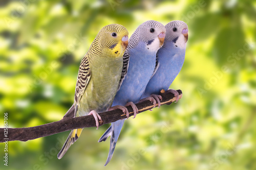 Fotografia Two multi colored budgie are on the green background