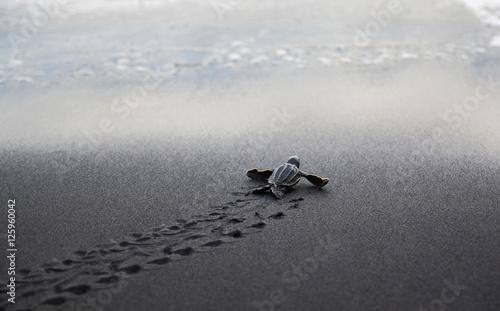 Fotografia, Obraz Leatherback sea turtle hatchling