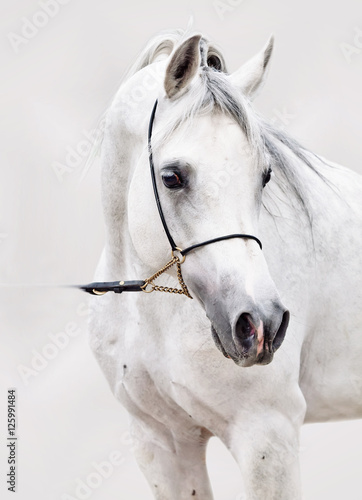 Fotografie, Obraz portrait of white arabian horse at grey background