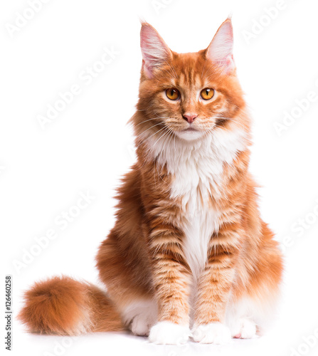 Fototapeta premium Portret krajowy czerwony kotek Maine Coon - 8 miesięcy. Ładny młody kot siedzi z przodu i patrząc na kamery. Ciekawy kotek młody pomarańczowy paski na białym tle.