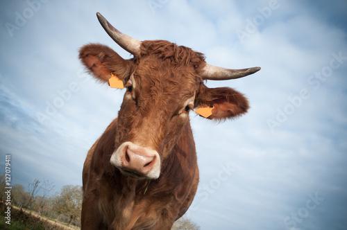 Foto Porträt der braunen Kuh in der Nahaufnahme
