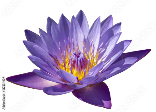 flower purple lotus close-up on white background isolated