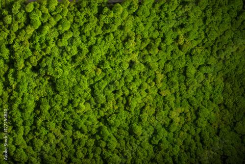 Obraz na płótnie Reindeer moss wall, green wall decoration, lichen Cladonia rangi