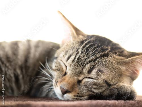Fototapeta 子猫の昼寝