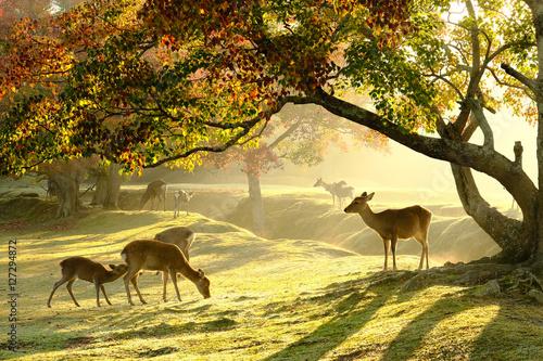 奈良の鹿 Fototapet