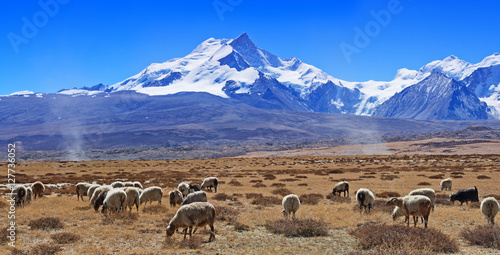 Photo Eight-thousander Shisha Pangma mountain in Tibet and flock of sh
