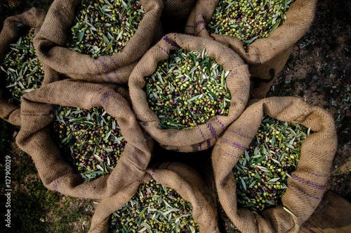 Harvested fresh olives in sacks in a field in Crete, Greece for olive oil produc Fototapeta
