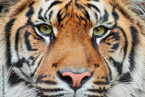 Canvas Print Close-up detail portrait of tiger