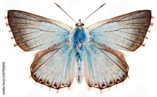 Fotografie, Obraz The butterfly Chalkhill blue or Polyommatus coridon