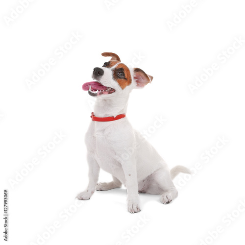 Fotografia Jack Russell Terrier, isolated on white