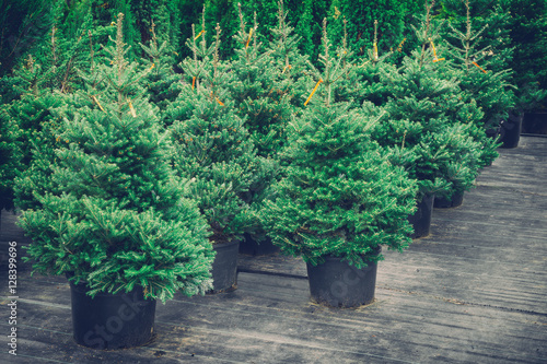 Christmas trees in pots for sale. Retro toned photo.