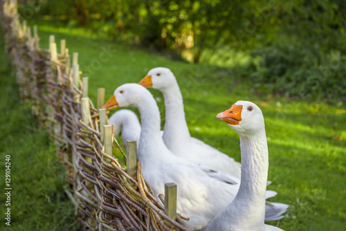Goose looking at camera - Funny white goose stretching its neck over wattled twi Fototapeta