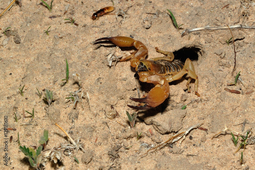 Burrowing scorpion hunting from its burrow for termites