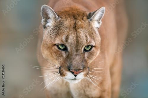 Puma, cougar portrait on light background