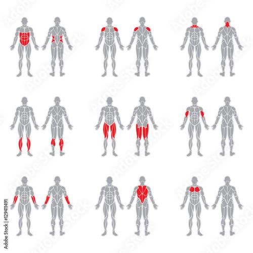 Wallpaper Mural Human body muscles