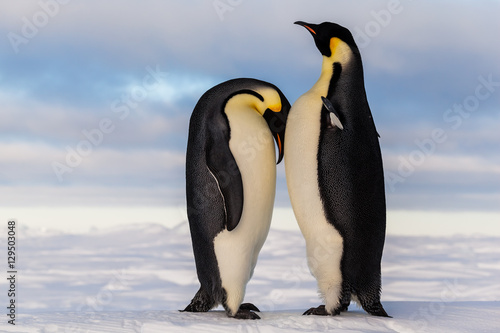 Canvas Print Emperor penguin crying on friend's breast
