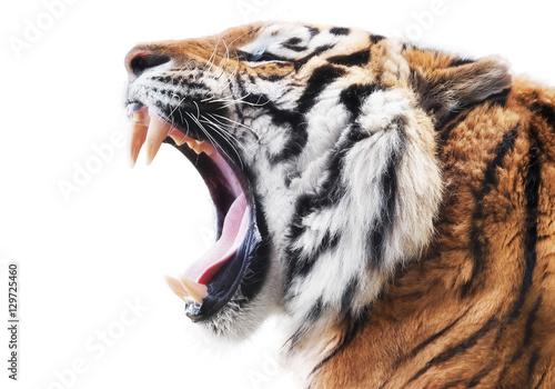 Fototapeta premium Wściekłość tygrysa