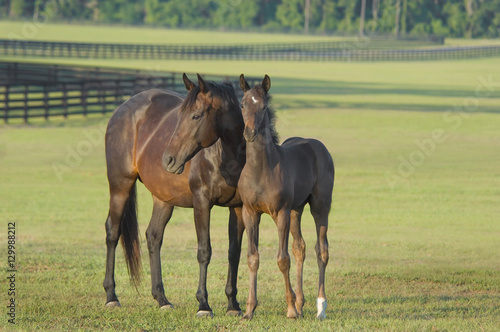 Photo thoroughbred horse mare with foal in large pasture