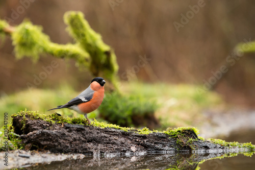 Foto Bullfinch