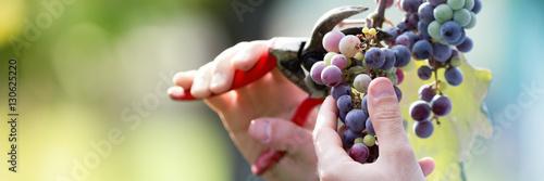 Carta da parati Farmer in his vineyard