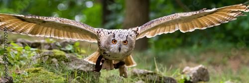 Canvas Print flying eagle owl