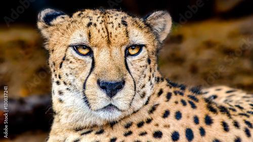 Obraz na plátně Cheetah Portrait