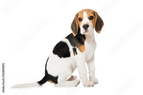 Canvas Print Beagle Welpe