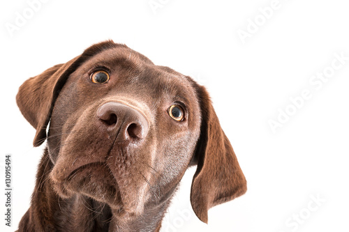 Canvas Print Isolated image of a brown female labrador retriever