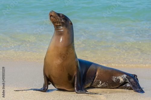 Fototapeta premium Galapagos sea lion at Mann beach, San Cristobal island (Ecuador)