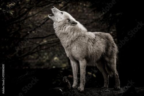 Fototapeta Wolf in the dark