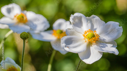 Fotografering White anemone flower in the sun on a green background