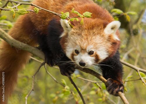 Red Panda clambering Zoo Rotterdam Fototapeta