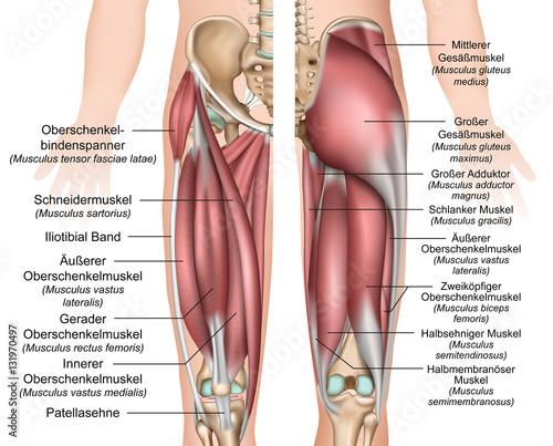 Canvas Print Anatomie der Oberschenkel und Gesäßmuskulatur
