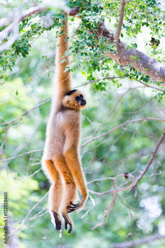Canvas Print White gibbon cute monkey holding and hanging on tree