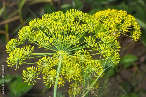 Foto Gelbe Blüten von Dill (Anethum graveolens)