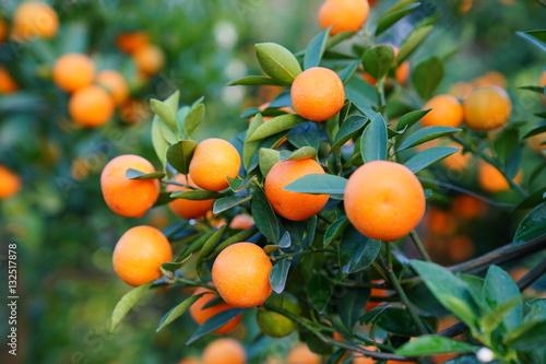 Growing Tangerines at Hanoi