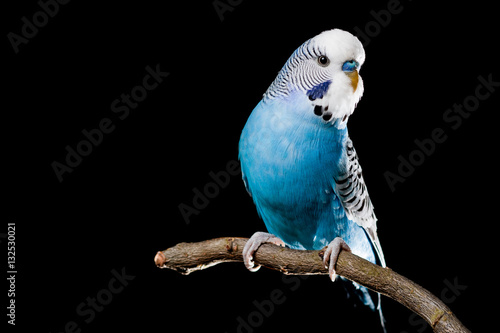 Canvas Print Isolated image of a blue budgie on a branch