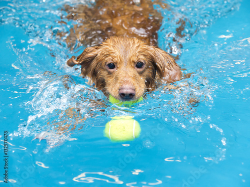 Fototapeta Toller is fetching a ball in the pool.