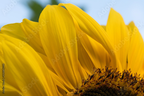 Closeup of large sunflower with bright yellow leafs and blue sky.