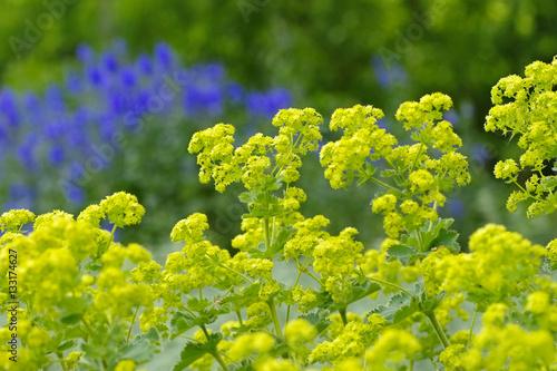 Stampa su Tela Weicher Frauenmantel, Alchemilla mollis - the plant ladys-mantle, Alchemilla mol