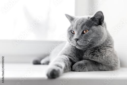 Fototapeta premium Szlachetny dumny kot leżący na parapecie. Brytyjski krótkowłosy