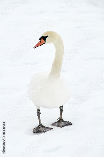 swan in snowy landscape